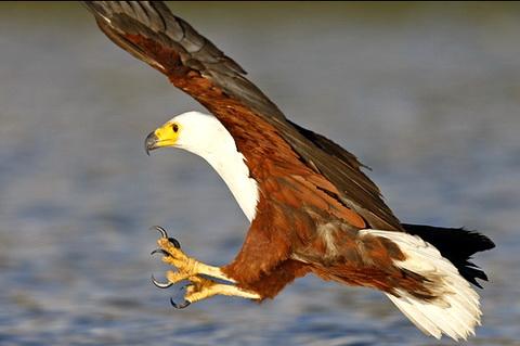 Африканский орлан крикун (Haliaeetus vocifer)