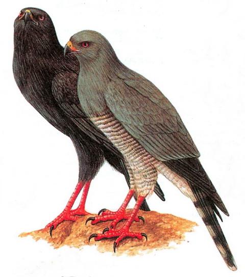 Певчий ястреб-габар (Micronisus gabar)
