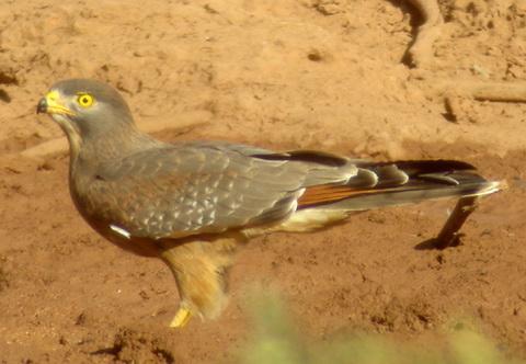 Саранчовый канюк (Butastur rufipennis)