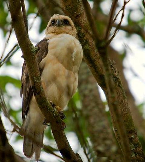Гавайский канюк (Buteo solitarius)