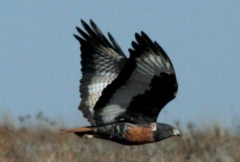 Скальный канюк (Buteo rufofuscus)