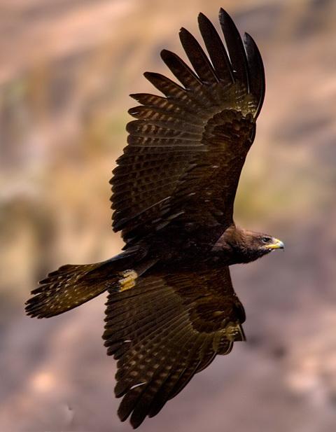 Орел-яйцеед (Ictinaetus malayensis)