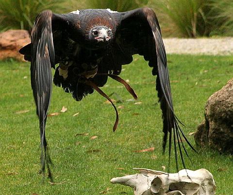 Клинохвостый орел (Aquila audax)