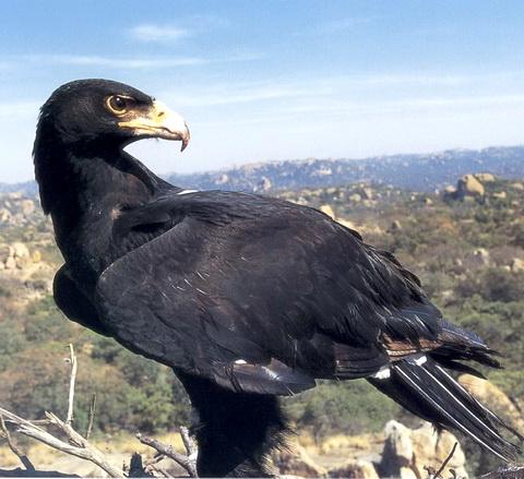 Кафрский орел (Aquila verreauxii)