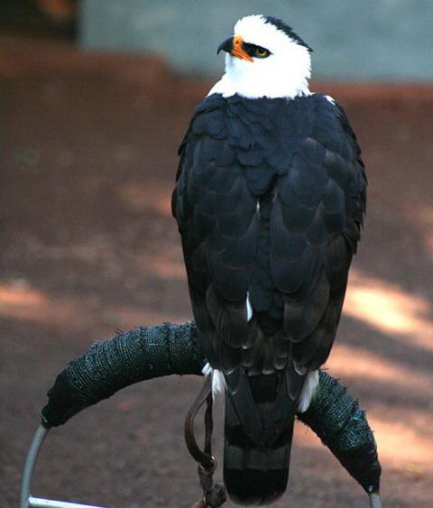 Черно-белый орел (Spizastur melanoleucus)