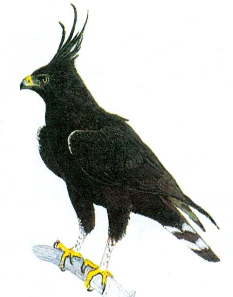 Длиннохохлый орел (Spizaetus occipitalis)