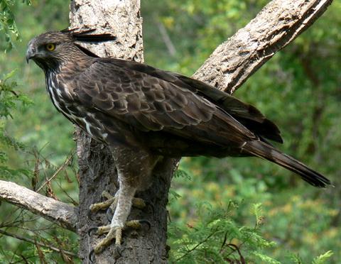 Изменчивый хохлатый орел (Spizaetus cirrhatus)