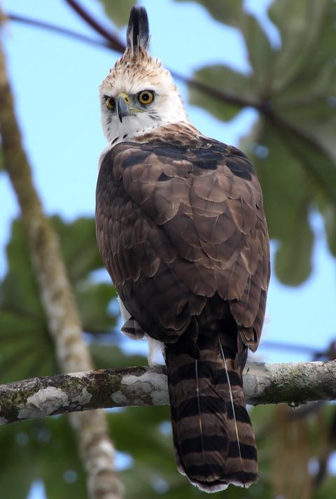 Нарядный хохлатый орел (Spizaetus ornatus)