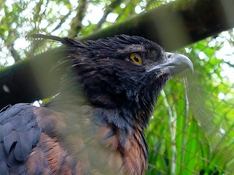 Черно-коричневый орел (Spizaetus isidori)