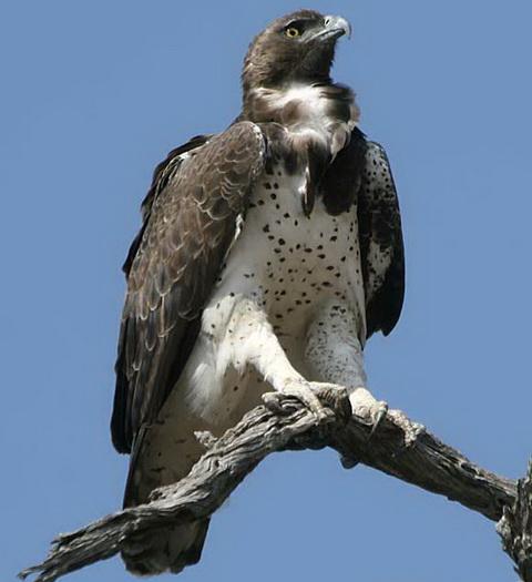 Боевой орел (Polemaetus bellicosus)