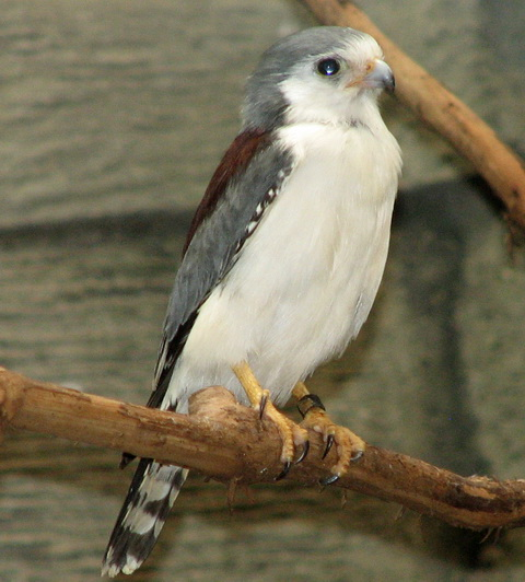 Африканский карликовый сокол (Polihierax semitorquatus)