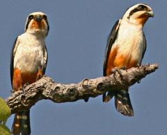 Красноногий карликовый сокол (Microhierax caerulescens)