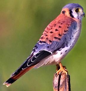 Американская пустельга (Falco sparverius)