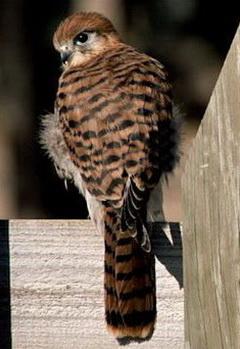 Маврикийская пустельга (Falco punctatus)