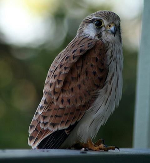 Австралийская пустельга (Falco cenchroides)