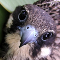 Сокол Элеоноры (Falco eleonorae)