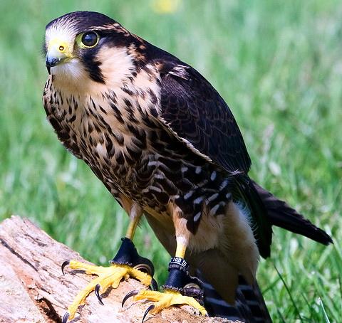 Мексиканский сокол (Falco femoralis)