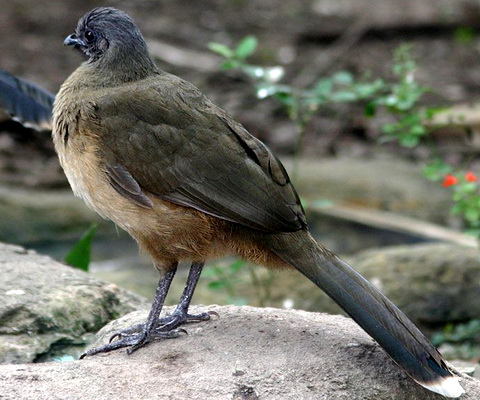 Бурокрылая чачалка (Ortalis vetula)