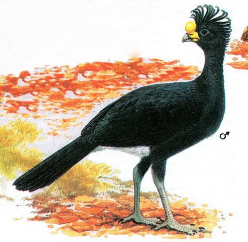 Большой кракс (Crax rubra)