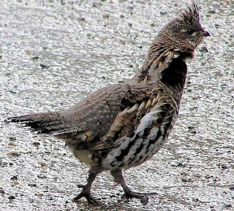 Воротничковый рябчик (Bonasa umbellus)