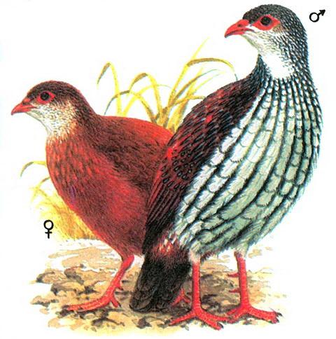 Семейство фазановые или павлиньи