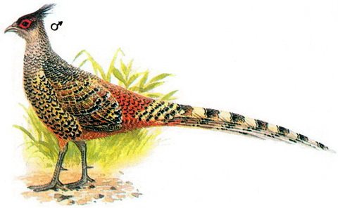 Гималайский фазан (Gatreus wallichii)