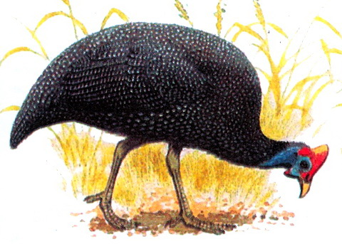 Обыкновенная цесарка