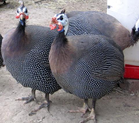 Фазаны вообще красивенные птицы, просто райские. или вообще фазанов.