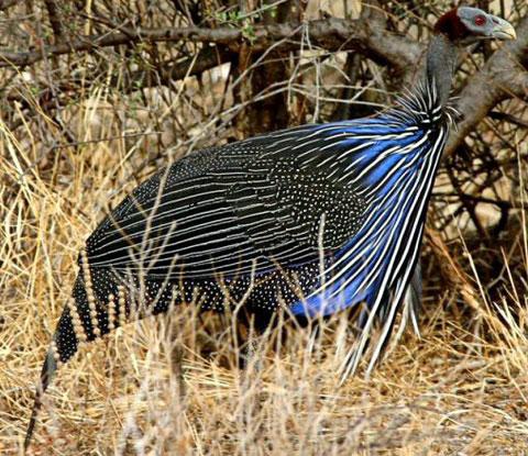 Грифовая цесарка (Acryllium vulturinum)