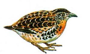 Малая трехперстка (Turnix sylvatica)