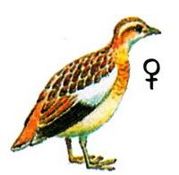 Перепелиная трехперстка (Ortyxelos meiffrenii)
