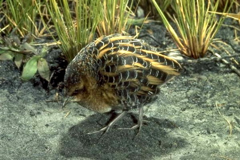 Желтый погоныш (Coturnicops noveboracensis)