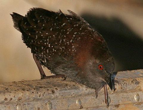 Американский черный погоныш (Laterallus jamaicensis)