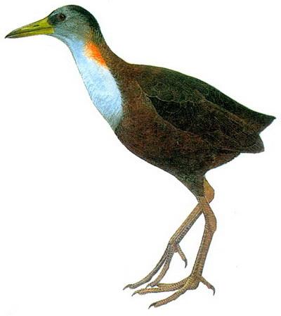 Новогвинейский нелетающий пастушок (Amaurornis ineptus)