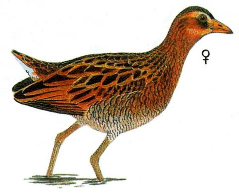 Рогатая камышница (Gallicrex cinerea)