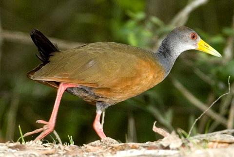 Южноамериканский лапчатоног (Heliornis fulica)