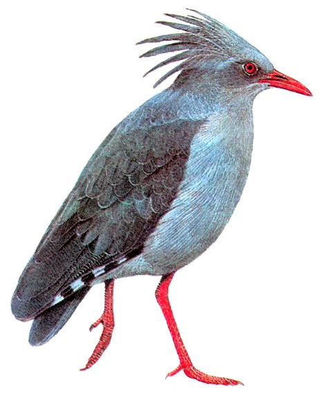 Кагу (Rhynochetos jubatus)