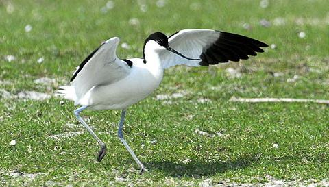 Шилоклювка (Reamostra avosetta)