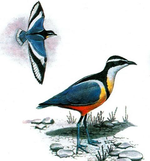 Египетский бегунок (Pluvianus aegiptius)