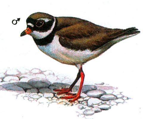 Галстучник (Charadrius hiaticula)