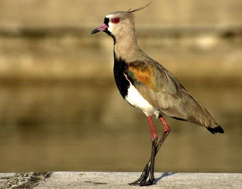 Кайенская пигалица (Vanellus chilensis)