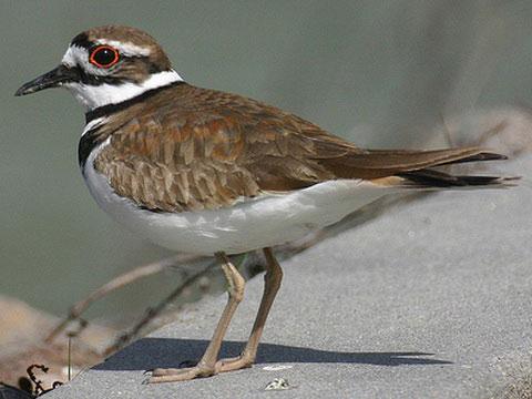 Крикливый зуек (Charadrius vociferus)