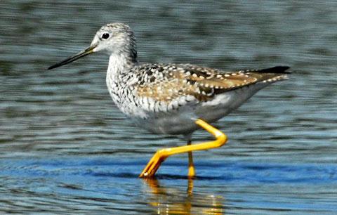 Признаки: Размеры взрослой птицы 36 см. Пестрые улиты