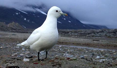 Белая чайка (Pagophila eburnea)