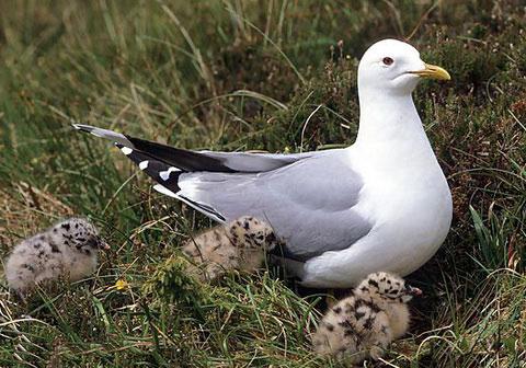 Встречи отдельных птиц и пар в гнездовой период отмечались для полей...