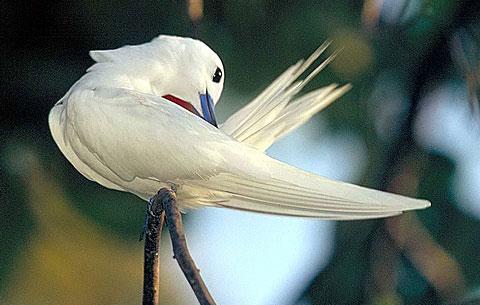 Белая крачка (Gygis alba)