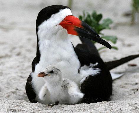 Черный водорез (Rynchops niger)