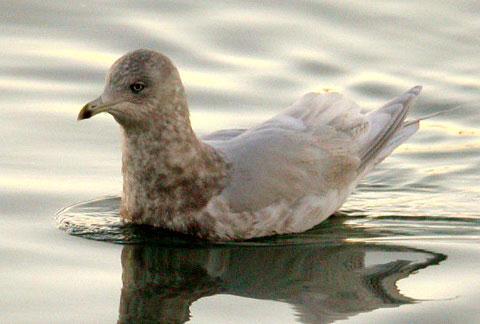 Малая полярная чайка (Larus glaucoides)