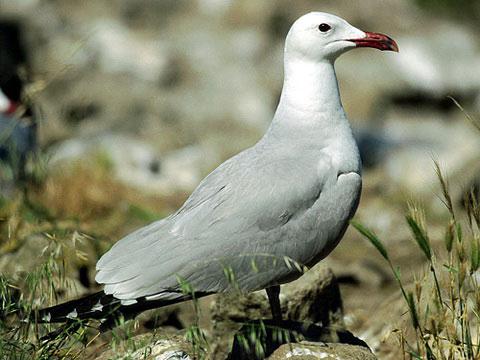 Чайка Одуэна (Larus audouinii)