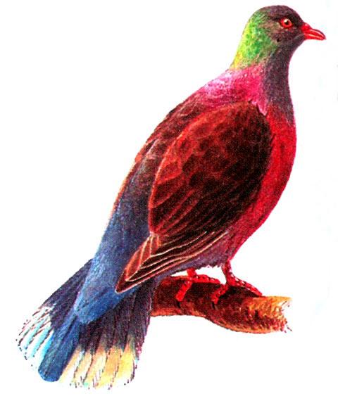 Лавровый голубь (Columba junoniae)